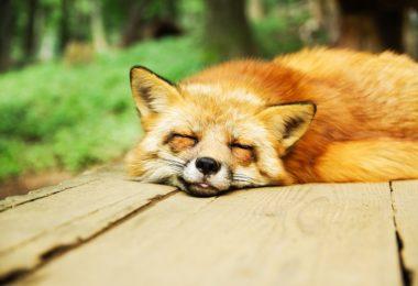 Lišky spávají bez problémů na denním světle, protože před svítáním jsou zaměstnány lovem. Vám doporučujeme před svítáním spíše spát.